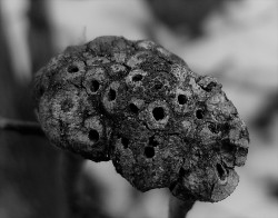 1-gouty-oak-gall